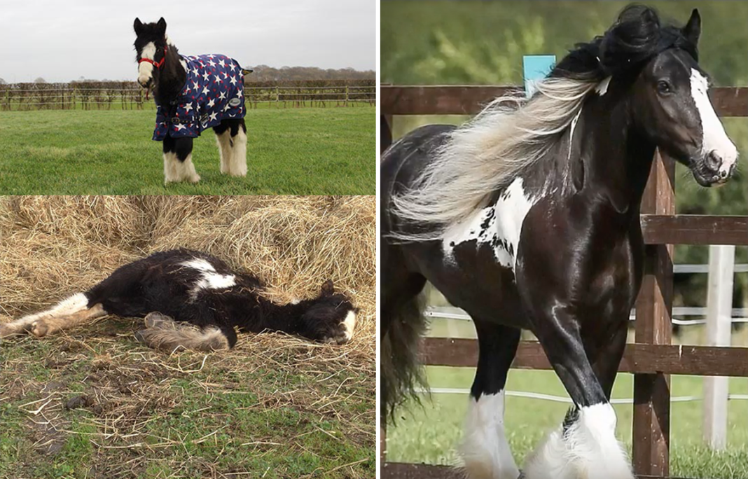 Foal Rescued Near-Death. Frozen, Covered In Lice & Infected With Worms – 4 Yrs Later Wins National Competition