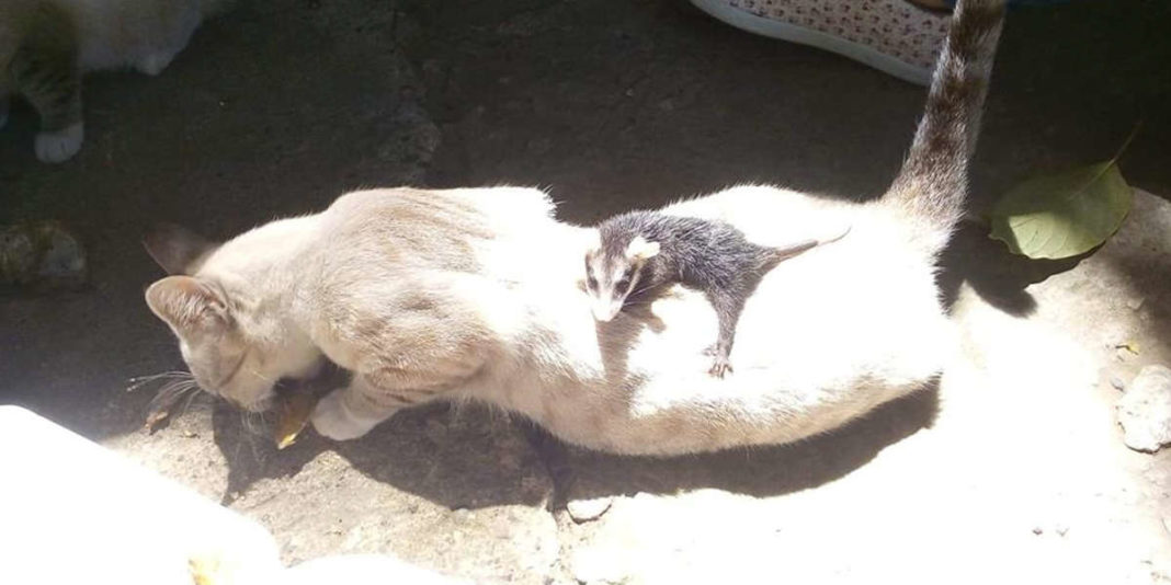 Rescue Kitten Comes Home One Day Carrying Strange Baby On Her Back