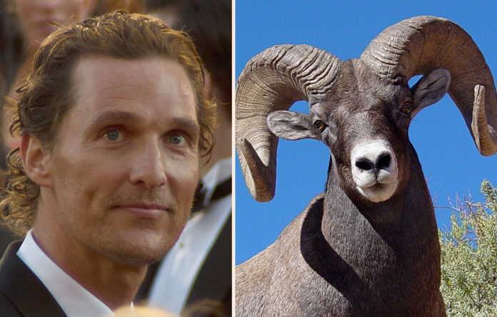 Matthew McConaughey with mountain ram