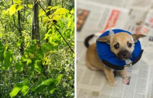 Nash the dog after rescue in Zebulon, North Carolina