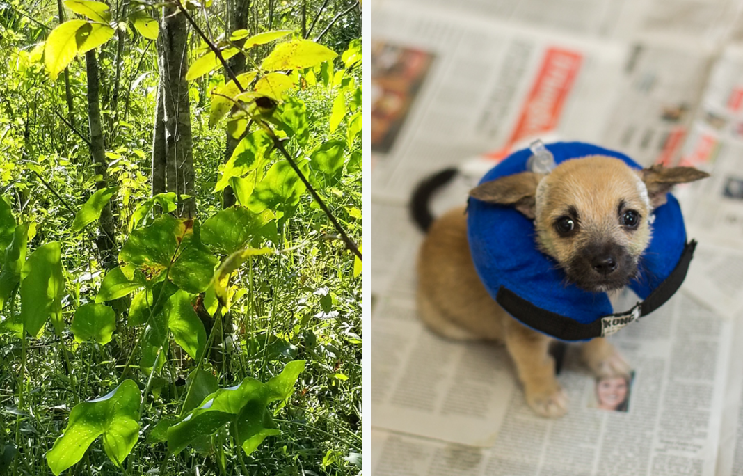 Woman Hears Faint Cries From Swamp, Finds Tiny Puppy Tied To A Tree On A Small Island