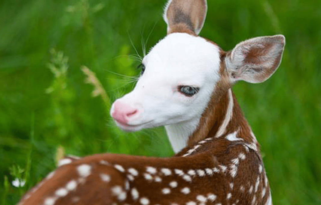 Rare Strikingly Beautiful Baby Fawn Becomes A Star After Mother Rejected Him