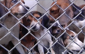 Beagles rescued near Allentown, Pennsylvania