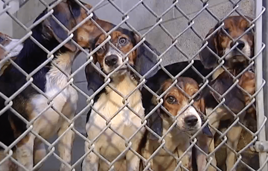 A few of the rescued beagles now filling up the shelter