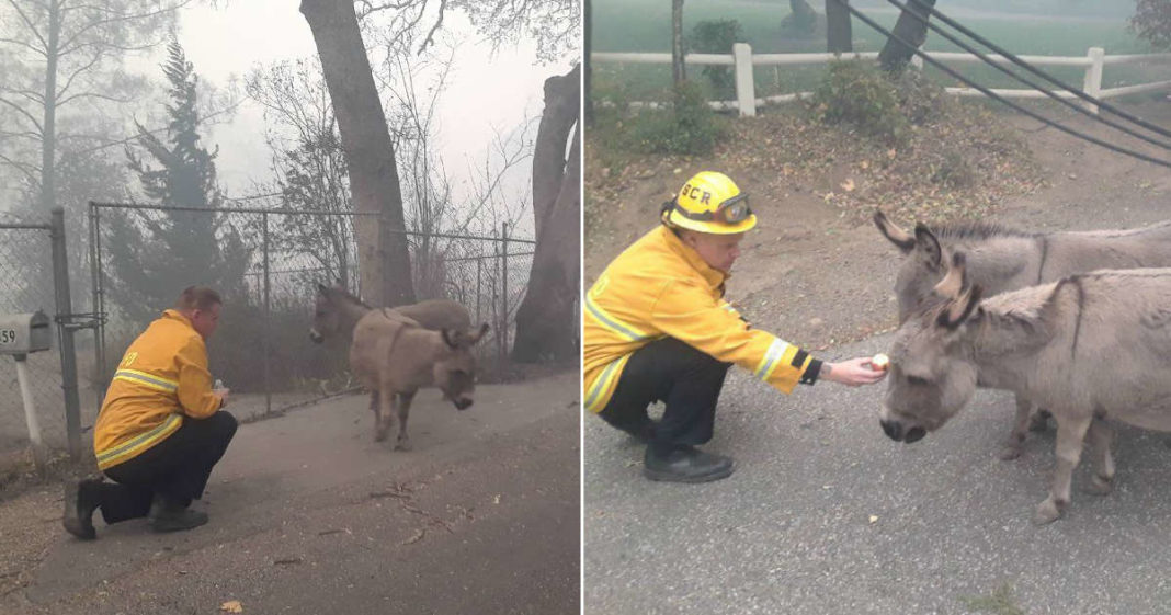 Firefighter Does The Sweetest Thing For Two Terrified Little Donkeys Fleeing Deadly Wildfire