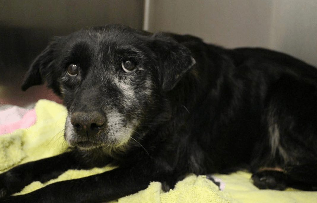 Abandoned 14-Year-Old Shelter Dog Finds Loving New Home Just In Time For Christmas