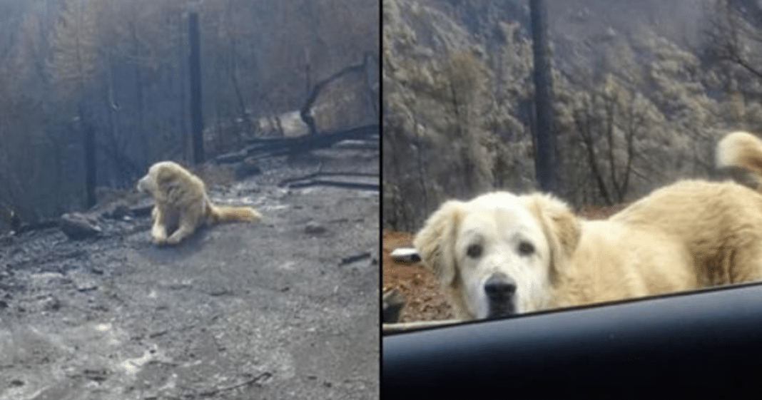 Dog That Survived California Wildfire Found Standing Guard At His Burned Down Home 1 Month Later