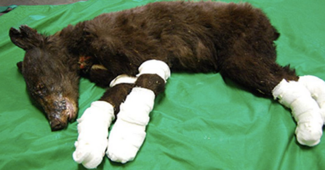 Cinder The Bear, Who Survived Severe Wildfire Burns, Found Shot Dead