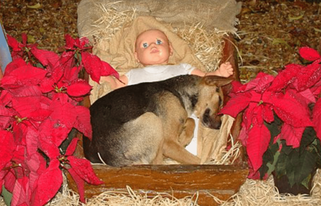 Homeless Pup Keeps Warm In Manger With Baby Jesus At Nativity Scene