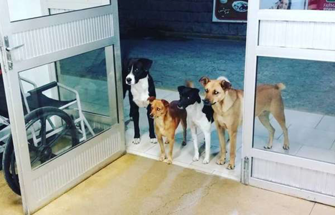 Homeless Man Admitted To Hospital As 4 Stray Dog Companions Wait Nervously Outside