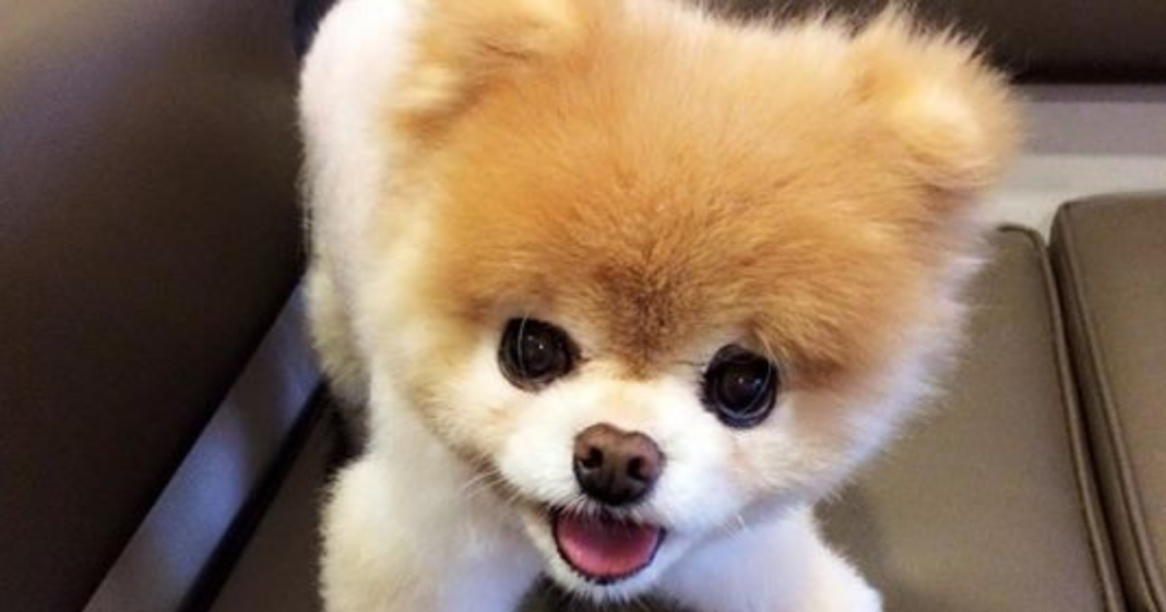 """Boo the Pomeranian, """"World's cutest dog,"""" has died"""