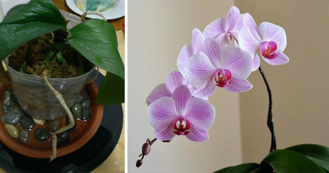 Lifeless orchids? Here's a secret trick that anyone with this plant needs to know