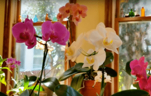 Orchids, Orchid Whisperer