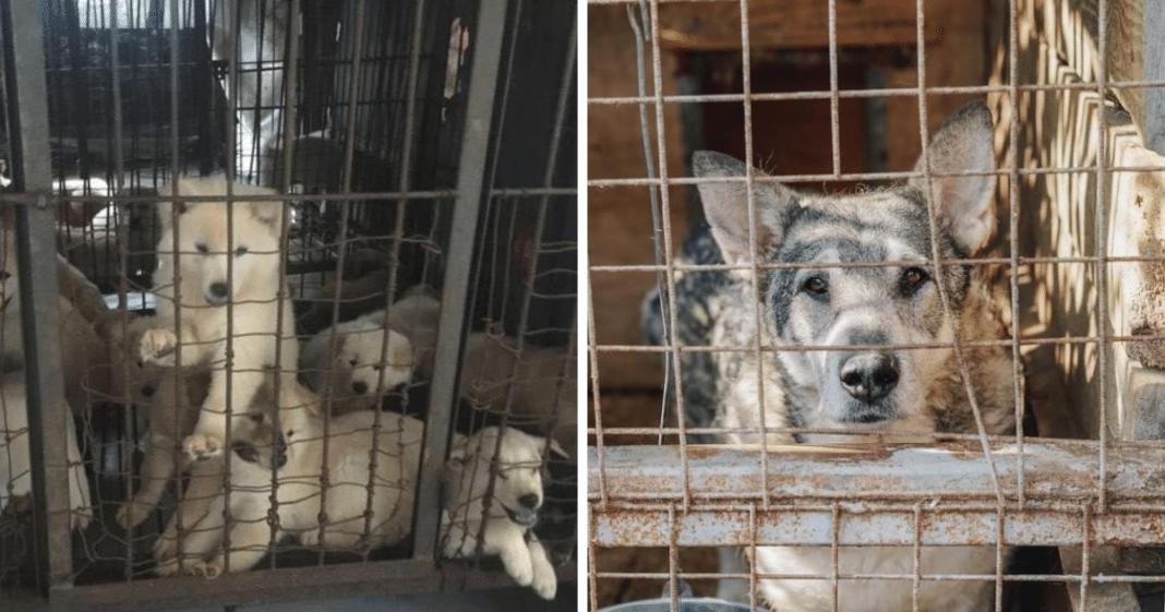 Great news: Seoul, South Korea 'will shut down all dog slaughterhouses'