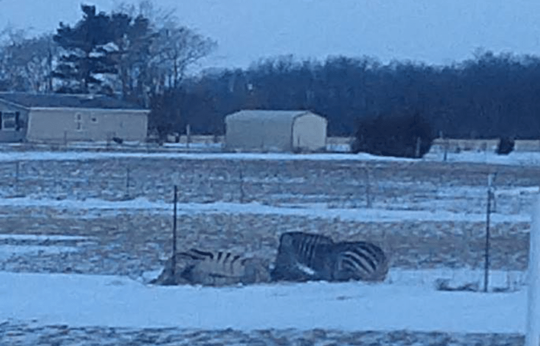 Zebra freezes to death amid extreme cold temperatures after hooves get stuck in fence