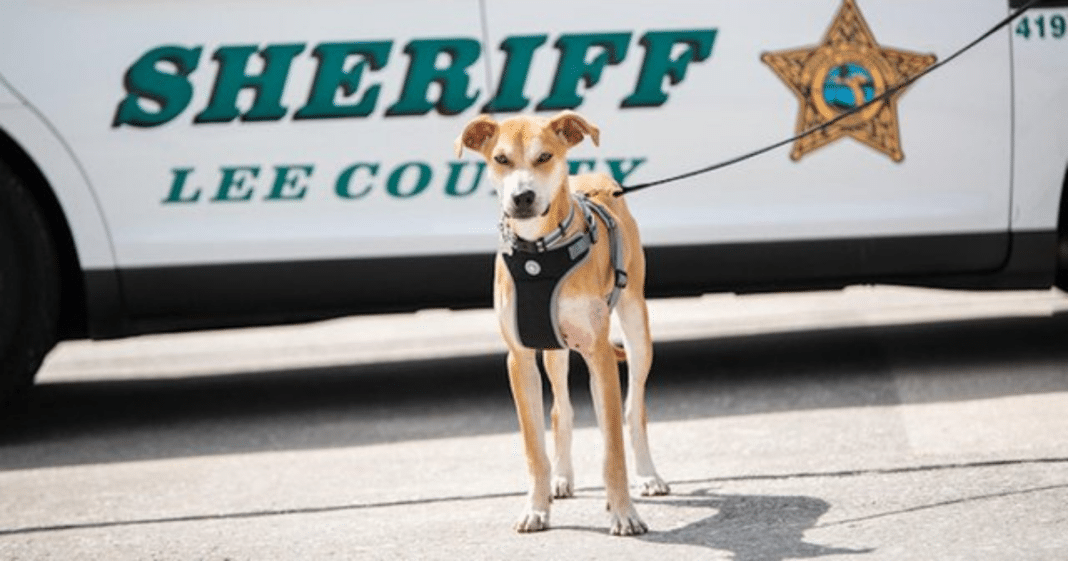 Abused dog found wandering streets with mouth taped shut becomes sheriff's deputy
