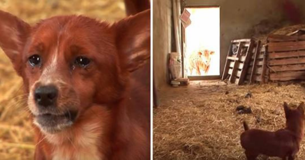 Sad dog gets separated from cow that raised him – camera captures tear-jerking moment they're reunited