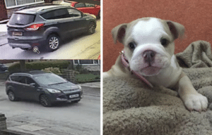 Wilma the English bulldog with the black Ford Kuga suspected to have carried the burglars
