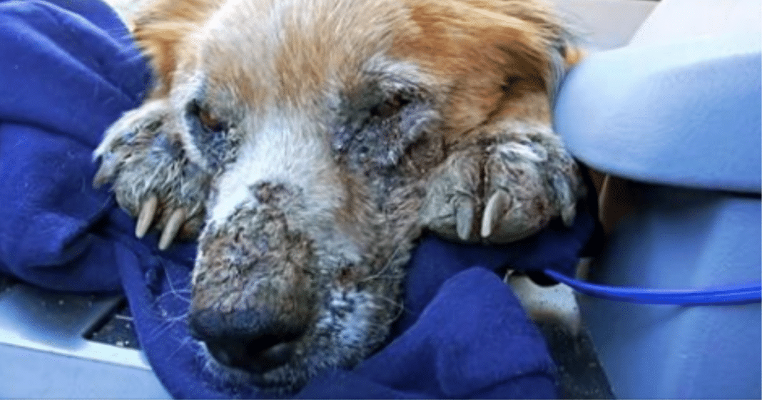 Sick and filthy homeless dog closes his eyes knowing he's safe for the first time
