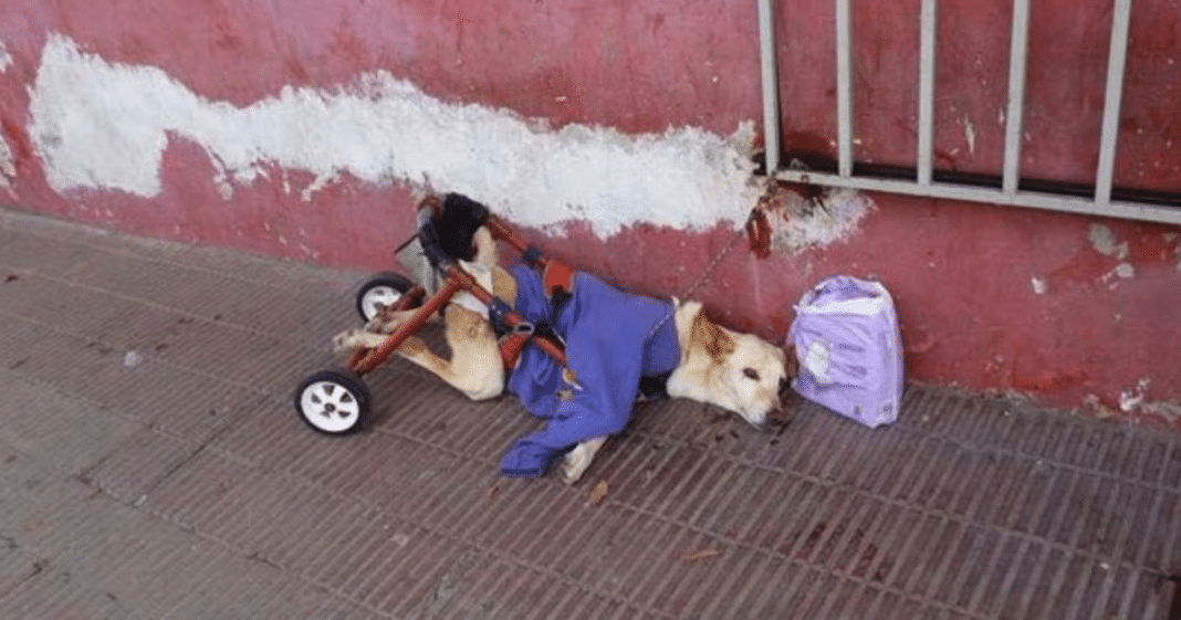 Owner dumps paralyzed dog on the street with her broken wheelchair and a bag of diapers
