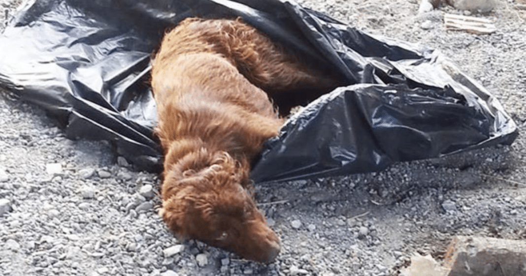 Dog dumped near river with legs tied-up in trash bag – watch when she sees her rescuers