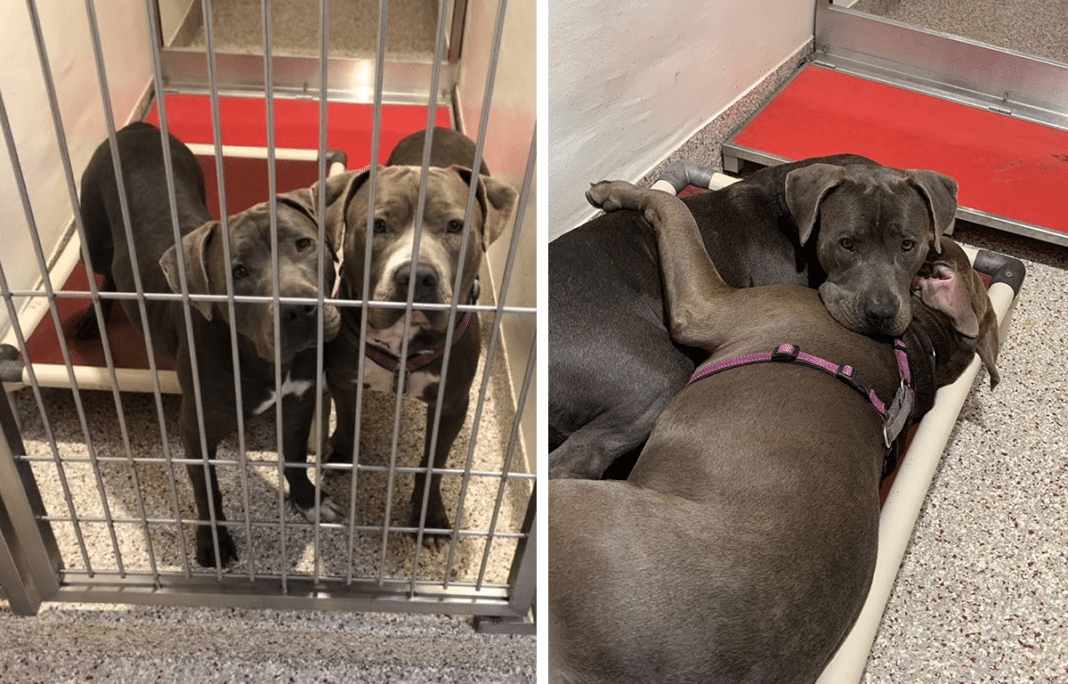 Pit bulls become inseparable best friends and comfort each other in shelter