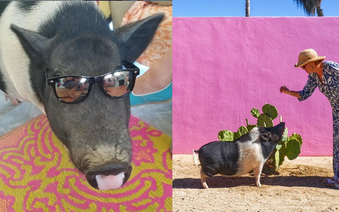 Colette the Artist Pig Brings Smiles and Health Care to Her Community