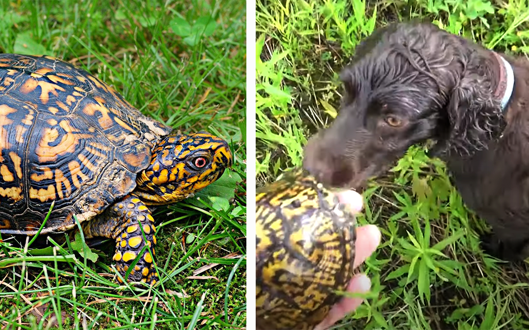 The Turtle Whisperer and His Superhero Spaniels Help Save Box Turtles